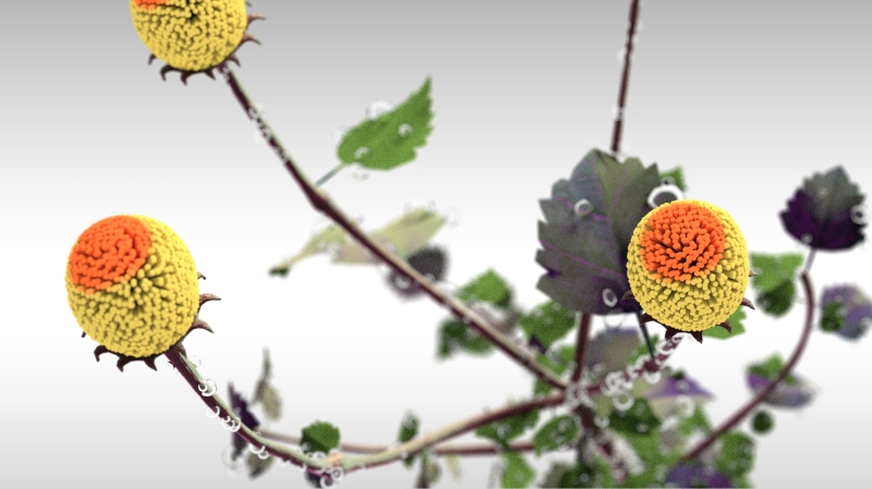 spilanthes2